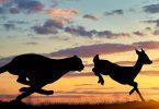 cheetah chases gazelle