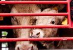 slaughterhouse beef traceability