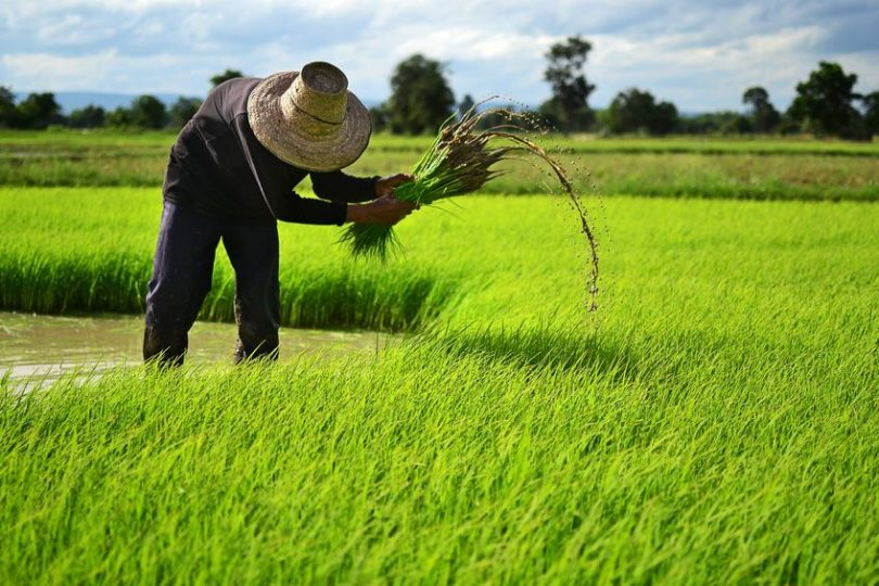 farmer on the rice farm