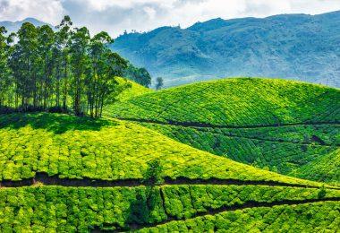 tea plantation india