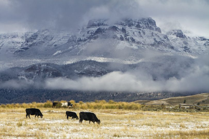 wyoming cattle
