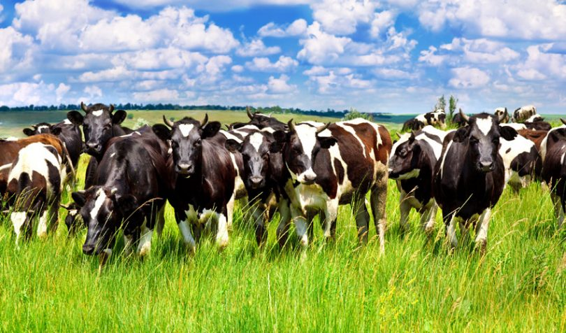 food traceability cows cattle beef