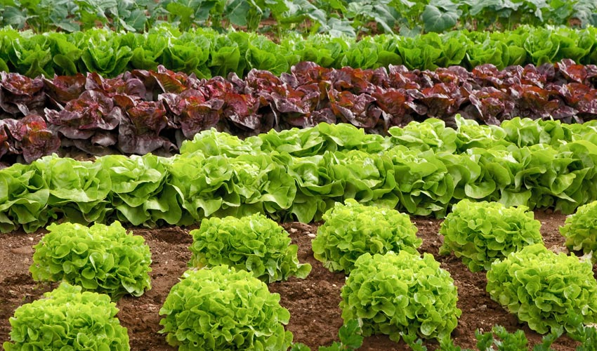 Lettuce leafy greens