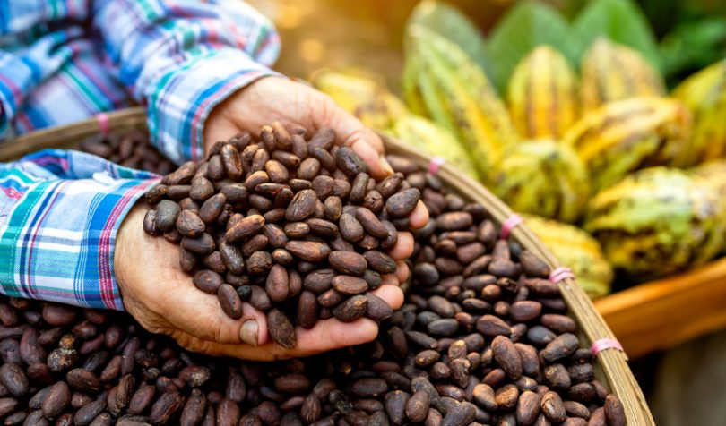 agriculture cocoa crop