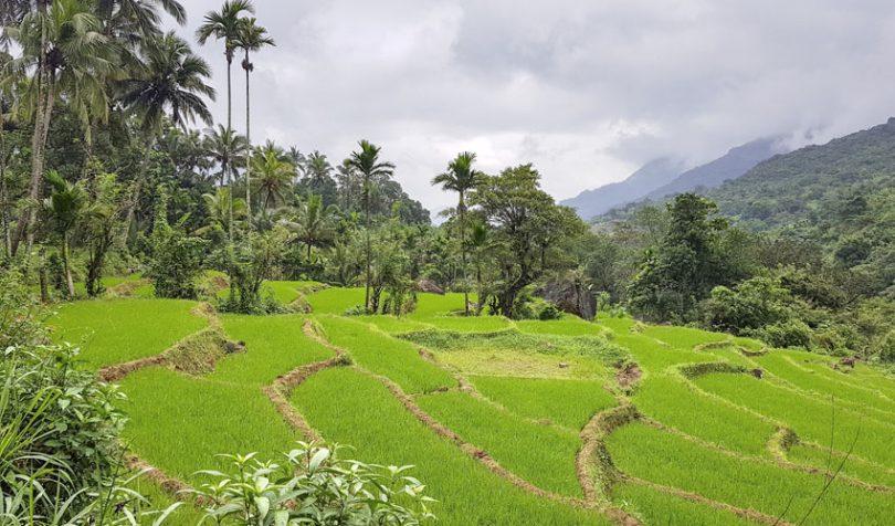 sri lanka paddy field
