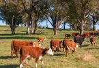 cattle cows australia