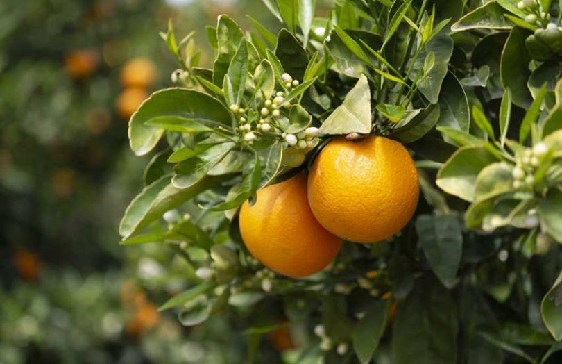 citrus orange plantation
