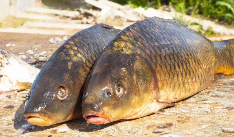 carp fish